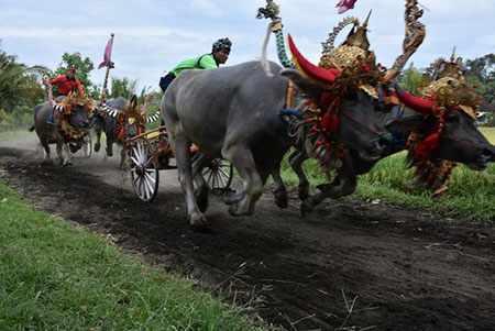 image عکس دیدنی مسابقه سنتی گاورانی بالی اندونزی
