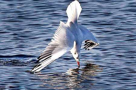 image عکس لحطظه شیرجه مرغ دریایی برای شکار ماهی