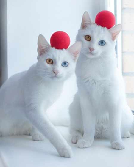 image, عکس بامزه از دو گربه سفید رنگ