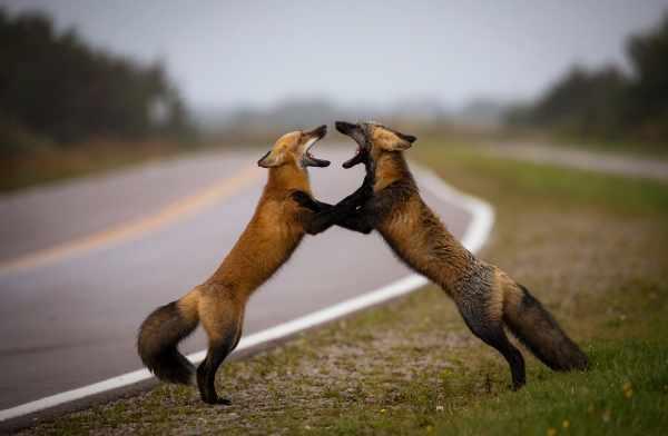 image جنگ دو روباه زیبا عکس برتر نشنال جئوگرافیک در زمینه طبیعت