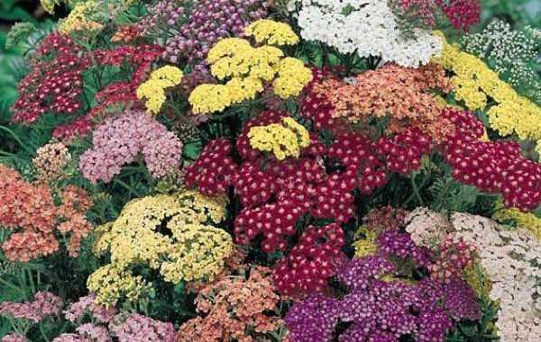 image, گیاه بومادران چیست و چه خواصی دارد