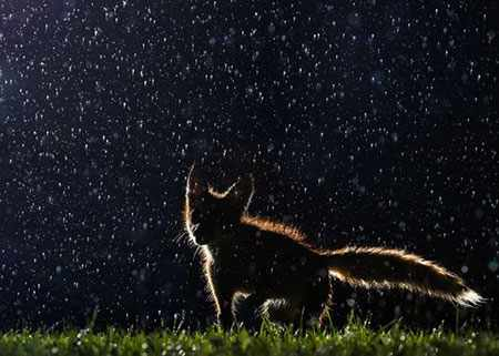 image, عکسی زیبا از روباهی در هوای بارانی در پارک مونترال کانادا