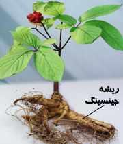 image, ریشه جینسینگ چه خواصی دارد وچه ضررهای