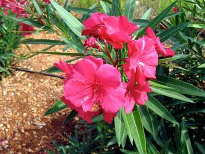 image اسم و عکس گل هایی که برای بچه ها سمی هستند