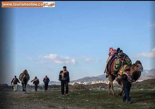 image, عکس های دیدنی از رژه زیبای شترهای کشتی گیر