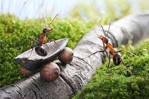 image, عکس دیدنی از مورچه های کشاورز که قهوه می کارند