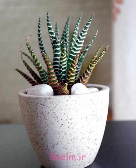 image نحوه نگهداری پنج گونه رایج گیاه کاکتوس در خانه
