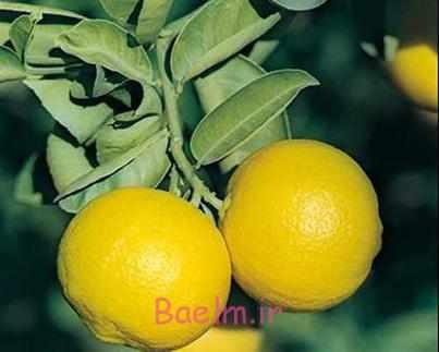 image اثرات جالب خوردن لیمو شیرین روی سلامتی پوست مو و بدن