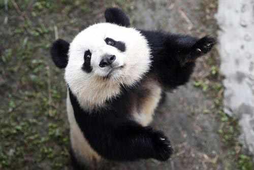 image تصویر زیبای یک پاندا در مرکز نگهداری پانداها چین