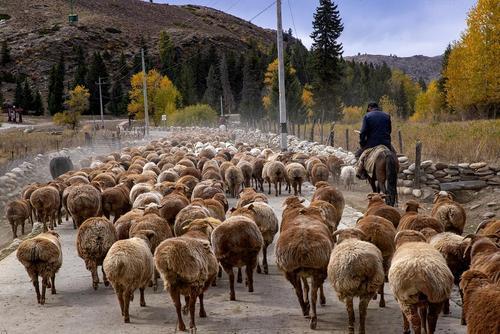 image تصویری زیبا از گله گوسفند در چین