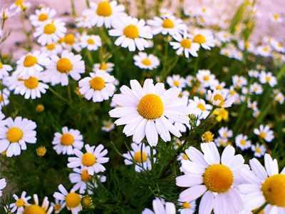 image معرفی گیاهان دارویی موثر در زیبای و شادابی پوست صورت