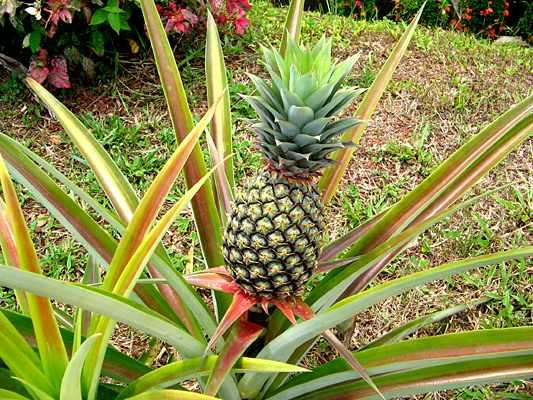 image آموزش کامل کاشت میوه آناناس در خانه در یک گلدان کوچک