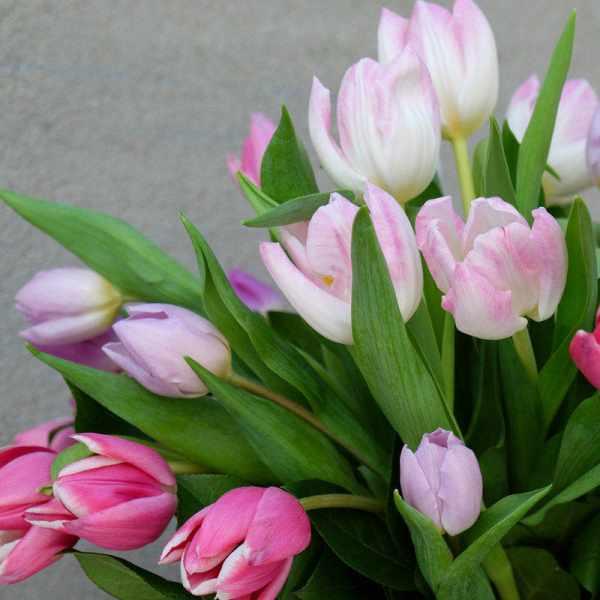 image ترفند تازه نگه داشتن گل های لاله در خانه