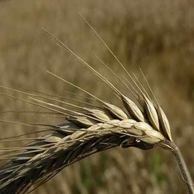 image گندم چاودار چه نوع گندمی است و خواص آن
