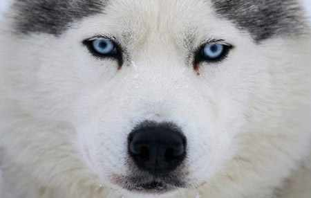 image صورت فوق العاده جذاب  سگ هاسکی سورتمه ران
