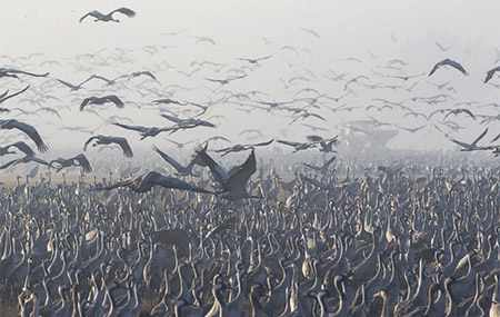 image تصویری زیبا از لک لک های خاکستری مهاجر کنار دریاچه فلسطین