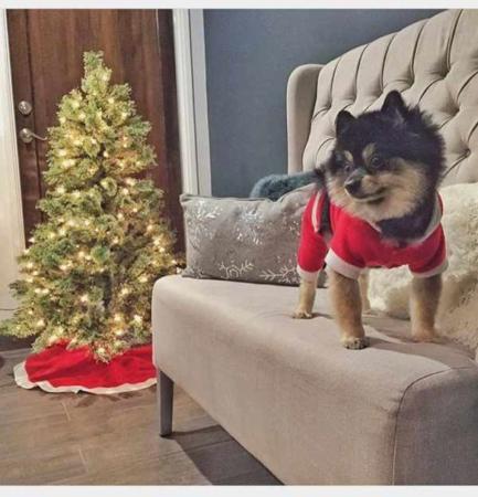image عکس یک سگ بامزه با لباس بابانوئل کنار درخت کریسمس