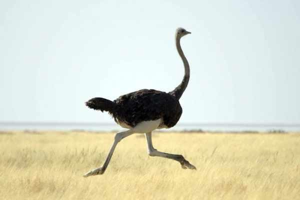 image آن چه که باید درباره روغن شتر مرغ بدانید