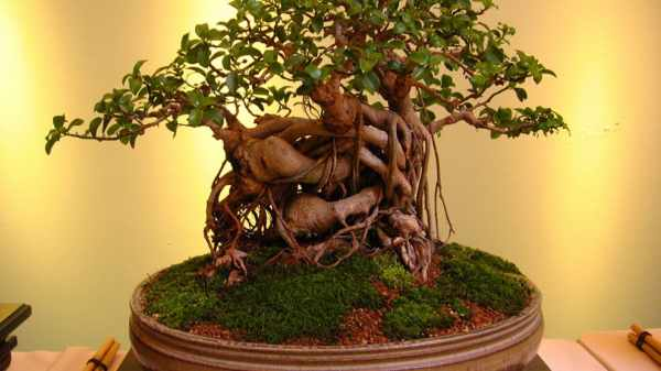 image نکات مهم درباره نگهداری درخت های تزیینی بن سای چینی