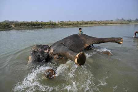 image عکس زیبای شستشوی فیل ها در رودخانه نپال