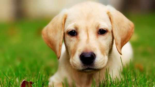 image اطلاعات جالب ردباره سه نژاد سگ روت وایلر دوبرمن و ژرمن شیپرد