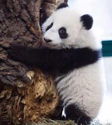 image, عکس زیبای یک پاندا در باغ وحش وین اتریش