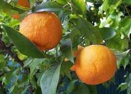 image تاثیر جادویی آب نارنج و عسل در کاهش فشارخون بالا