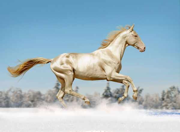 image, تصاویری دیدنی از زیباترین نژاد اسب ترکمن در جهان