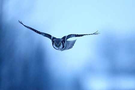 image, عکس پرواز زیبای یک جغد در آسمان آبی روستایی در بلاروس