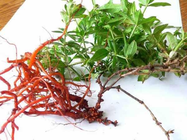 image گیاه روناس چیست و کاربردهای آن در موارد مختلف