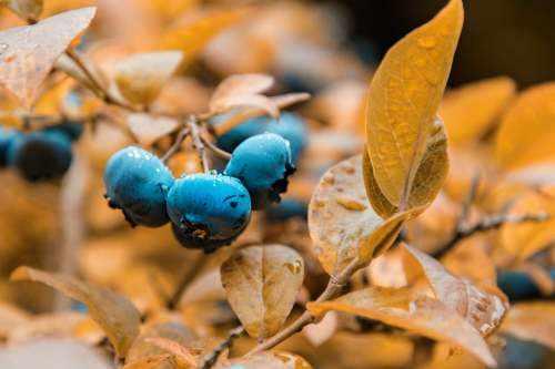 image میوه بلوبری چه خاصیتی برای سلامتی دارد