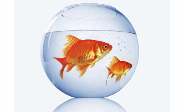 image آیا واقعا دست زدن به ماهی قرمز عید خطرناک است و چرا