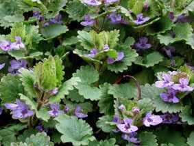 image آشنایی با گیاه پیچک باغی و نحوه کاشت و نگهداری آن