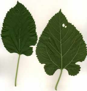 image آشنایی با گیاه شاتوت و نحوه کاشت و نگهداری آن