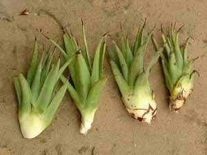 image آشنایی با گیاه آگاو و نحوه کاشت و نگهداری آن