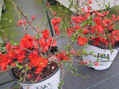 image, آشنایی با گیاه به ژاپنی و نحوه کاشت و نگهداری آن