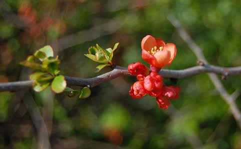 image آشنایی با گیاه به ژاپنی و نحوه کاشت و نگهداری آن
