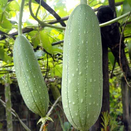 image آشنایی با گیاه لیف و نحوه کاشت و نگهداری آن