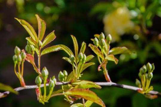 image آشنایی با گیاه رز آشار طلا و نحوه کاشت و نگهداری آن