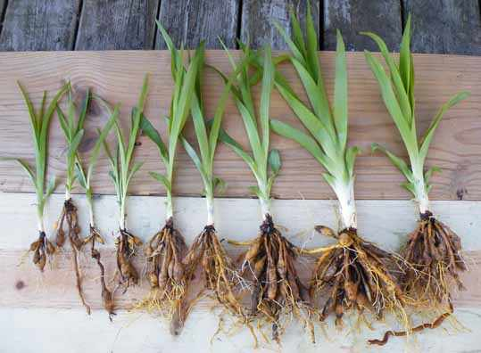 image آشنایی با گیاه سوسن و نحوه کاشت و نگهداری آن
