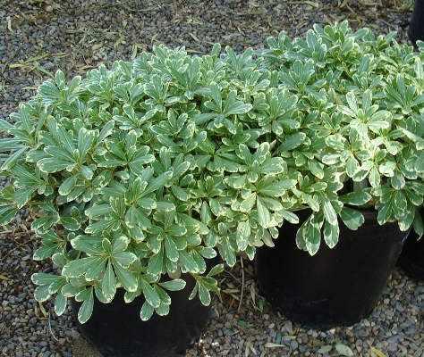image آشنایی با گیاه میخک زینتی و نحوه کاشت و نگهداری آن