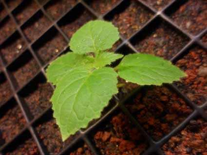 image, آشنایی با درخت پالونیا و نحوه کاشت و نگهداری آن