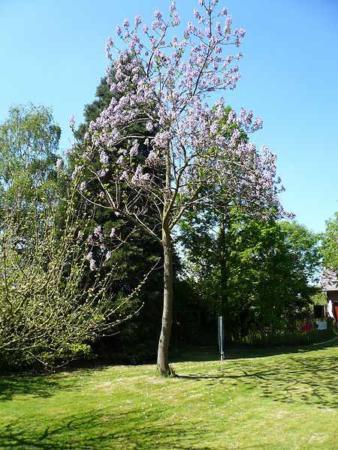 image آشنایی با درخت پالونیا و نحوه کاشت و نگهداری آن