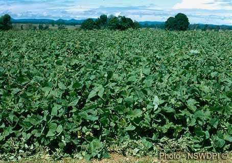 image آشنایی با گیاه لابلاب و نحوه کاشت و نگهداری آن