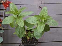 image آشنایی با گیاه نعنا فلفلی و نحوه کاشت و نگهداری آن
