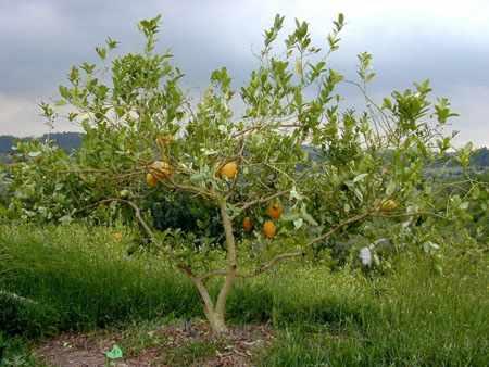 image آشنایی با درخت بالنگ و نحوه کاشت و نگهداری آن