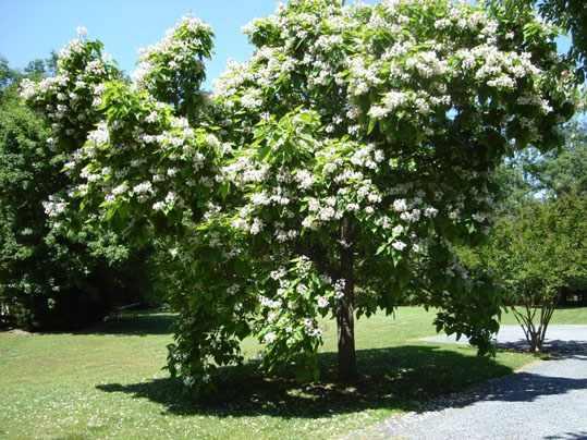 image آشنایی با درخت کاتالپا و نحوه کاشت و نگهداری آن