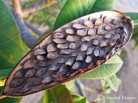 image آشنایی با درخچه پلومریا و نحوه کاشت و نگهداری آن