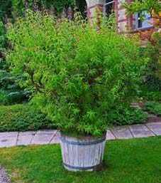 image آشنایی با گیاه به لیمو و نحوه کاشت و نگهداری آن