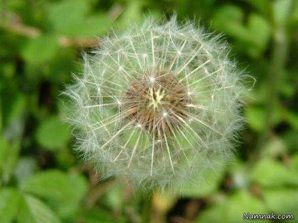 image با خوردن این گیاهان دارویی زود تپل شوید